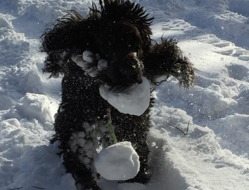 Hundepfoten im Winter richtig pflegen